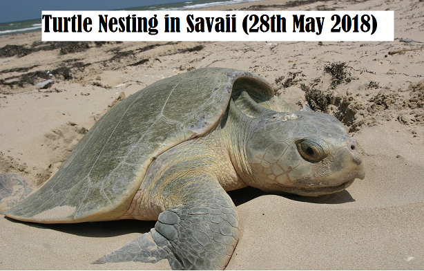 Turtle Nesting in Savaii